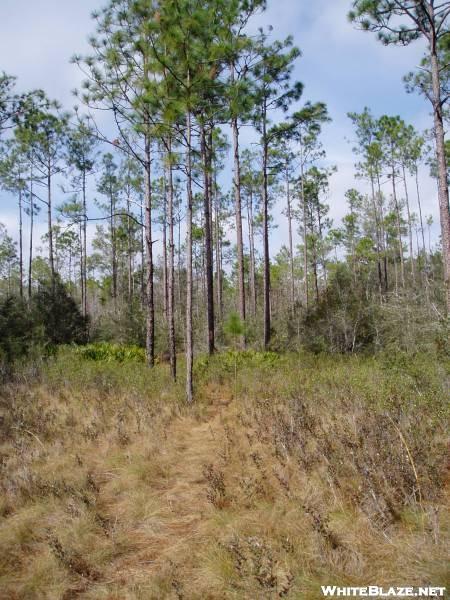 Long Leaf Pine along Florida NST