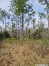 Long Leaf Pine along Florida NST