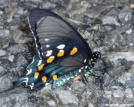Pipevine Swallowtail butterfly by MOWGLI in Other