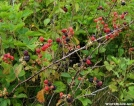 Blackberries Max Patch Bald by Rusty41 in Flowers