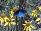 Butterfly by Chalumeau in Flowers