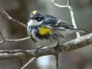 Yellow Rumped Warbler by STEVEM in Birds
