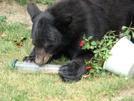 Black Bear by STEVEM in Bears