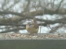 Carolina Wren by STEVEM in Birds