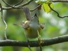 American Redstart by STEVEM in Birds