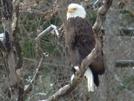 Bald Eagle by STEVEM in Birds