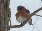 Eastern Bluebird by STEVEM in Birds