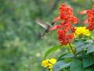 Hummingbird by STEVEM in Birds