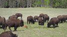 Bison at Grand Canyon by Egads in Other Trails