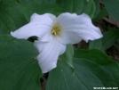 Trillium grandiflorum by Alligator in Flowers