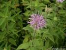 Wild Bergamot-Monarda fistulosa by Alligator in Flowers