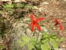 Roundleaf Catchfly by Alligator in Flowers
