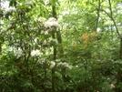 Mountain Laurel And Flame Azalea