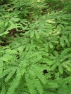 Maidenhair Fern Mass.