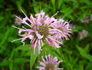 Bee Balm, Vermont by Doxie in Flowers