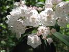 Mountain Laurel by Doxie in Flowers