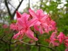 Pink Flame Azalea Cva by Doxie in Flowers