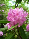 Rhododendron, Central Va by Doxie in Flowers