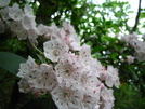 Mountain Laurel by Doxie in Flowers