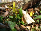 Trout Lily by Doxie in Flowers