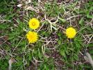 Dandelions by Doxie in Flowers