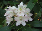 Rhododendron In Pennsylvania by Doxie in Flowers
