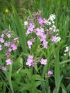 Va Wildflowers 2 by Doxie in Flowers
