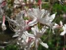 Flame Azalea by Doxie in Flowers