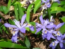 Dwarf Crested Iris by Doxie in Flowers