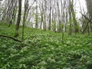 Mayapples And Trilliums by Doxie in Flowers