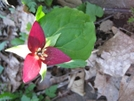 Trillium by Doxie in Flowers